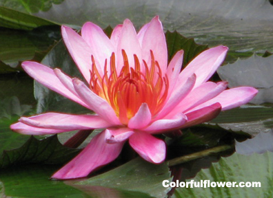 Water lily - Pink flower in a pond.